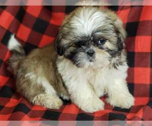 Shih Tzu Puppy for sale in MOUNTAIN GROVE, MO, USA