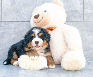 View Ad Bernedoodle Puppy For Sale Near North Carolina