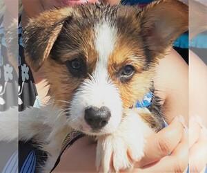 Pembroke Welsh Corgi Puppy for sale in KINGSVILLE, MO, USA