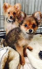 Yoranian Puppy For Sale in WASHINGTON, DC