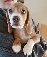 Beagle Harrier Puppy for sale in HOWELL, MI, USA