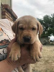 Labrador Retriever Puppy For Sale in GRAND JUNCTION, CO, USA