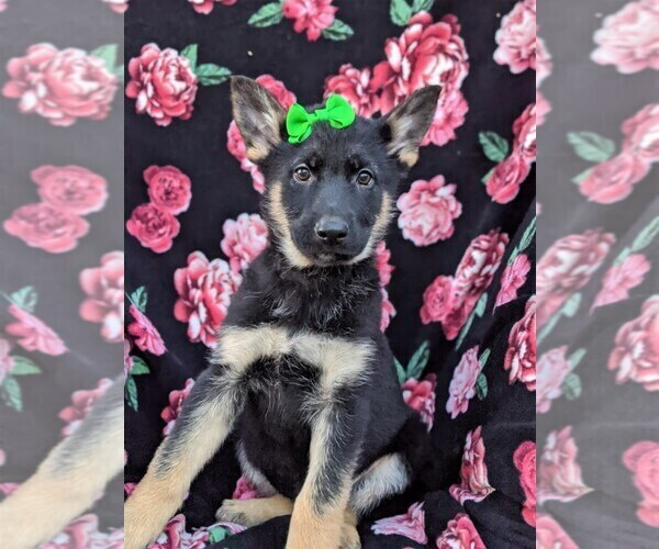 Medium Photo #3 German Shepherd Dog Puppy For Sale in NEW PROVIDENCE, PA, USA