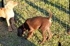 Vizsla-Weimaraner Mix Puppy For Sale in MILLBROOK, AL, USA