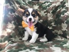 Pembroke Welsh Corgi Puppy For Sale in PORT DEPOSIT, MD, USA