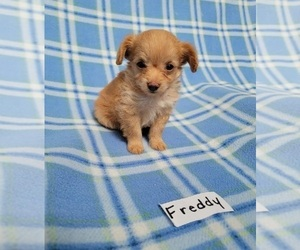 Chihuahua-Poodle (Toy) Mix Puppy for sale in HOPKINSVILLE, KY, USA