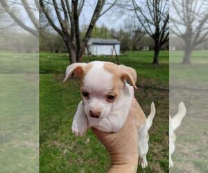 Chihuahua Puppy for sale in GREENFIELD, OH, USA