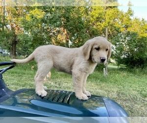 Golden Retriever Puppy for sale in Regina, Saskatchewan, Canada