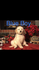 Goldendoodle Puppy For Sale in AMARILLO, TX, USA