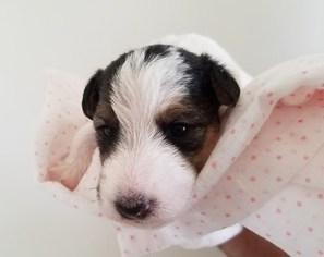 View Ad Wire Fox Terrier Puppy For Sale Arizona Scottsdale Usa