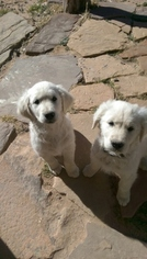 Golden Retriever Puppy For Sale in COLORADO SPRINGS, CO