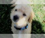 Small #17 Labradoodle
