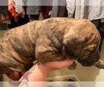 Puppy 2 Bullmastiff