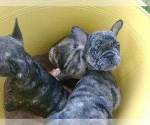 French Bulldog-Frenchie Pug Mix Puppy For Sale in DAYTON, OH, USA