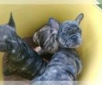 Puppy 3 French Bulldog-Frenchie Pug Mix