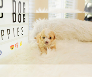 Maltipoo Puppy for sale in FULLERTON, CA, USA