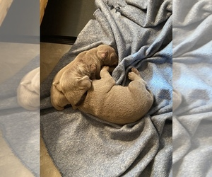 Weimaraner Puppy for sale in BURLINGAME, KS, USA