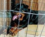 Small #27 Rottweiler