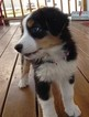 Australian Shepherd Puppy For Sale in MORIARTY, New Mexico,