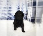 Puppy 9 Labradoodle