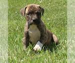 Small #99 American Pit Bull Terrier Mix