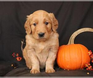 Golden Retriever Puppy for sale in MENIFEE, CA, USA