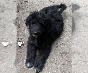 Aussiedoodle Puppy for sale in MOUNT CLEMENS, MI, USA