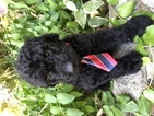 Goldendoodle Puppy For Sale in ANDERSON, California,