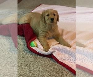 Golden Retriever Puppy for Sale in CONCORD, Illinois USA