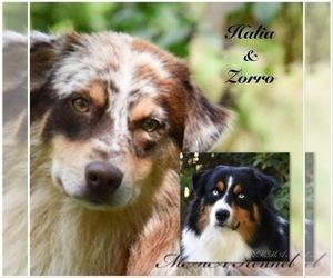 Mother of the Australian Shepherd puppies born on 05/02/2021