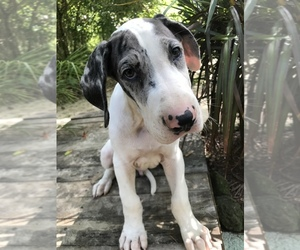 Great Dane Puppy for Sale in OCALA, Florida USA