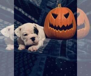 English Bulldog Puppy for sale in ACWORTH, GA, USA