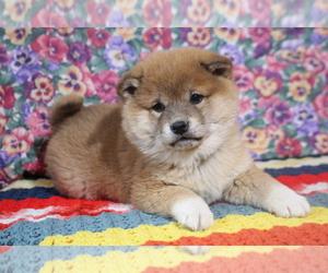 Shiba Inu Puppy for Sale in PEMBROKE, Kentucky USA