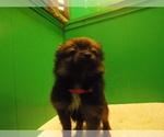 Puppy 9 Pomeranian