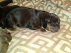 Small Photo #1 American Bully Puppy For Sale in BOULEVARD, NY, USA
