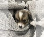 Small #8 Cardigan Welsh Corgi-Pomeranian Mix