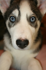 Siberian Husky Puppy For Sale in BAKERSFIELD, CA, USA