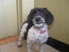 Shih-Poo Puppy For Sale in PATERSON, NJ, USA