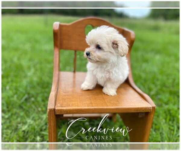 Medium Photo #6 Maltipoo Puppy For Sale in NIANGUA, MO, USA