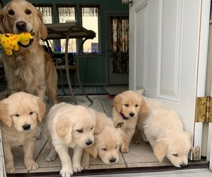 Golden Retriever Puppy for Sale in EAST VINELAND, New Jersey USA