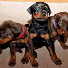Doberman Pinscher Puppy For Sale in GLEN ALLEN, VA, USA
