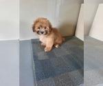 Puppy 1 Mal-Shi