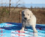Small #31 Goldendoodle