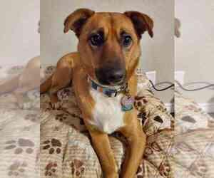 Boxer-German Shepherd Dog Mix Dog for Adoption in KILLEEN, Texas USA