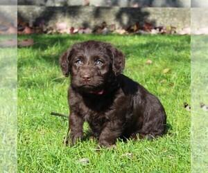 Labrador Retriever-Poodle (Toy) Mix Dog for Adoption in MYERSTOWN, Pennsylvania USA