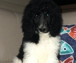 Small #5 Poodle (Standard)