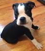 Boston Terrier Puppy For Sale in GASTON, SC, USA