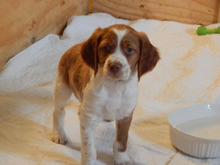 Brittany Puppy For Sale in GLADBROOK, IA, USA
