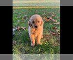 Puppy 2 Golden Retriever