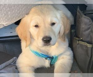 Golden Retriever Puppy for sale in MERCED, CA, USA